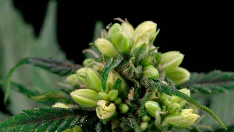 marihuana hermafroditas