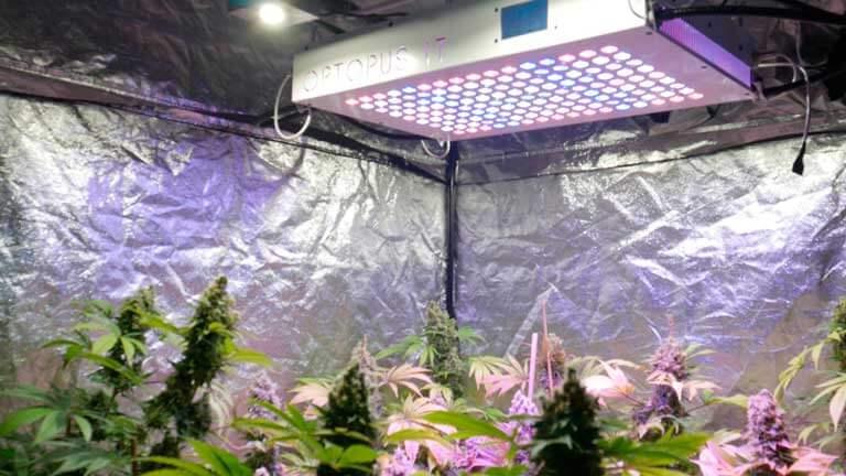 Foco LED para variedades autoflorecientes