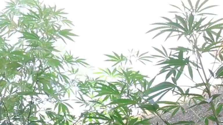 espigamiento de las plantas de marihuana
