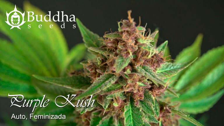 Purple Kush Auto de Buddha Seeds