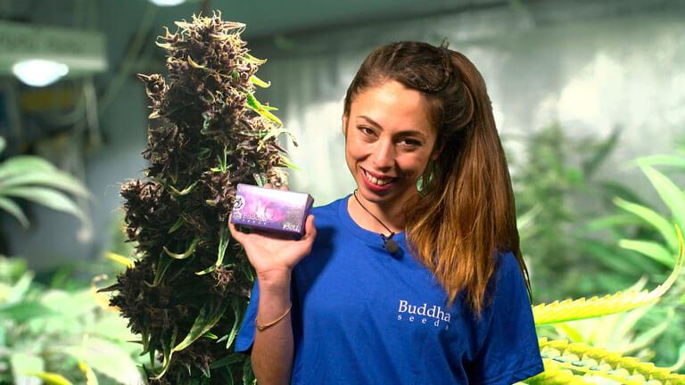 Conoce la Purple Kush Auto de nuestros amigos de Buddha Seeds