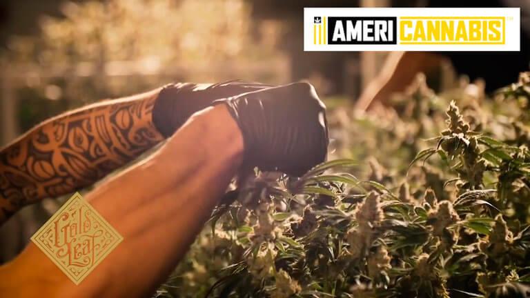 Americannabis, la creme de la creme en genéticas americanas