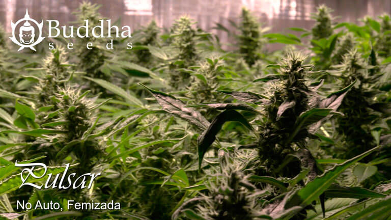 La púlsar de Buddha Seeds es perfecta  Una de las características más peculiares de Pulsar de Buddha Seeds es su elevada producción para su gran carga sativa. En interior conviene controlarla con podas de puntas o en cultivo scrog, ya que tiende a adueñarse de todo el espacio. En exterior recomendamos plantar ya avanzada la temporada de siembra si no se quieren individuos de tamaño monstruoso.  El efecto de <a href=