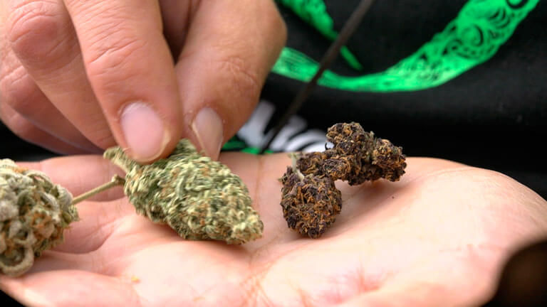 3 cogollos de variedades diferentes en Castelló Cannabis Cup 2019