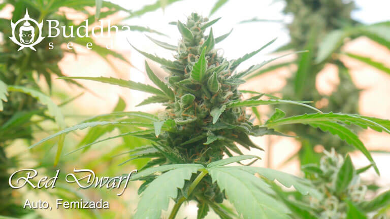 Cogollo apical de Red Dwarf de Buddha Seeds