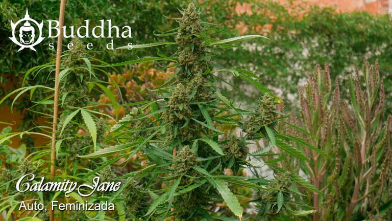 Calamity Jane de Buddha Seeds en Junio en Top Cultivo