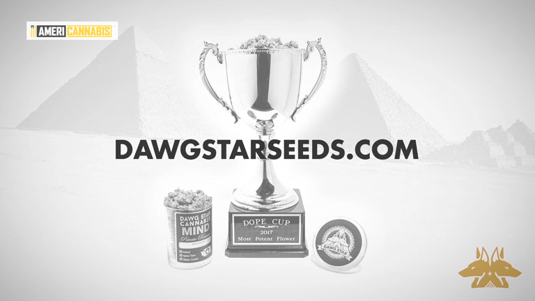 Conoce Dawg Star Seeds de Americannabis y pilla la Blueberry Cheese Cake. ¡Te encantará!